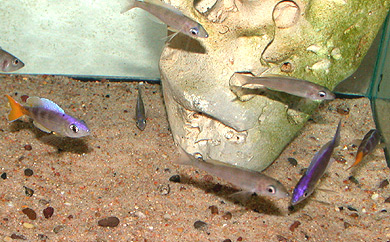 "Cyprichromis leptosoma ""malasa"" group"