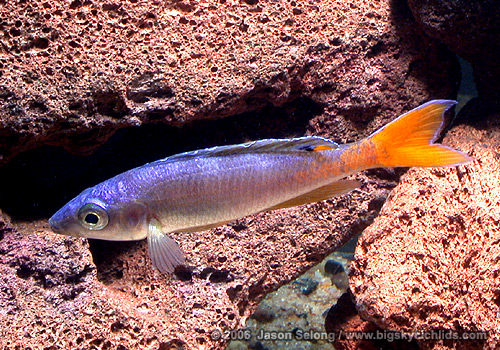 "Cyprichromis leptosoma ""malasa"" yellow-tailed male"