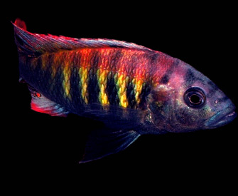 Welcome to Big Sky Cichlids